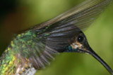 Jacobin hummingbird